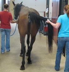 Spinale Ataxie beim Pferd - Schwierige Diagnose